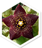 Caralluma MD™ ingredient 1
